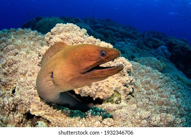 Moray Eel on a leather coral reef. Underwater image taken on scuba diving trip in Raja Ampat, Indonesia