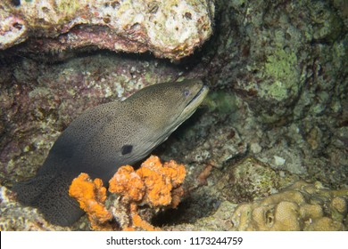 Moray eel peeking out of its cave in the coral reef during a night dive