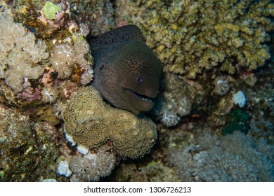 Moray eel peeking out of a rock crevice of the coral reef of the Red Sea in Egypt