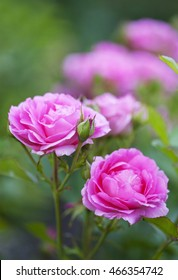Morden Centennial Rose.  This hybrid was developed in Morden, Manitoba, Canada to withstand cold Canadian winters and warm humid summers.