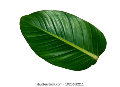 More beautiful exotic tropical leaves, isolated leaf background.clipping path