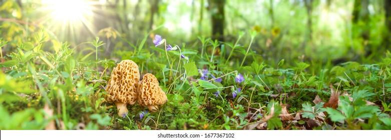 Morel Mushrooms In Warm Spring Sunshine