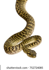 Morelia spilota variegata, a subspecies of python, against white background