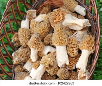 Morels mushrooms in a trug (Morchella esculenta)