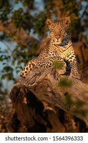 Moremi Leopard in beautiful light