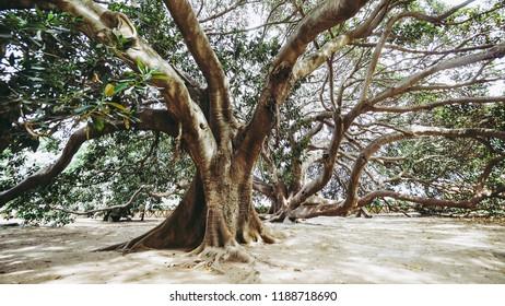 Moreton Bay fig (Ficus macrophylla) aka Australian banyan tree