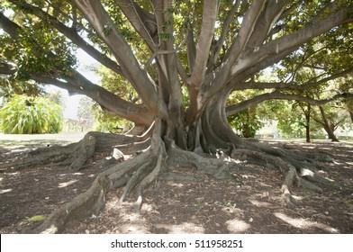 Moreton Bay Fig Tree - Perth - Australia