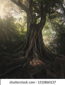 Moreton Bay or Magnolia leaf fig tree (Ficus macrophylla)