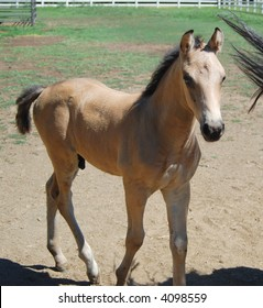 Morgan Horse foal