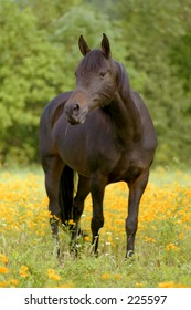 Morgan mare in a field of yellow flowers.
