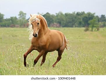 Morgan Stallion palomino Horse