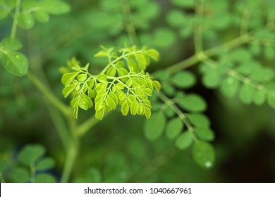 Moringa leafs - Moringa oleifera (the most widely cultivated species of the genus Moringa, which is the only genus in the family Moringaceae)