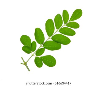 Moringa leaves isolate on white background