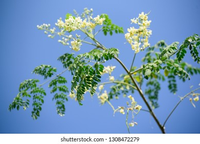 Moringa leaves on tree
