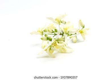 Moringa oleifera flower isolated on white background.