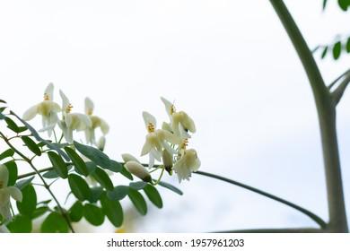 Moringa oleifera flower on tree.