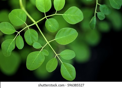 Moringa oleifera - green leaves in daylight