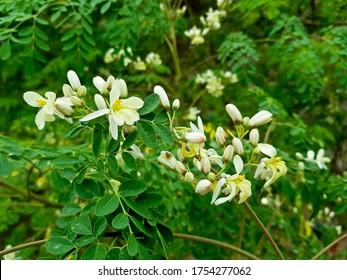 Moringa oleifera, Moringa leaves, Beautiful Moringa flower on the tree