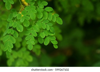 Moringa oleifera leaves or daun kelor with natural soft background for copyspace. (Selective focusing)