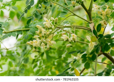 Moringa oleifera, Moringa leaves, Moringa flower on tree