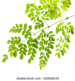 Moringa oleifera leaves isolated on white background