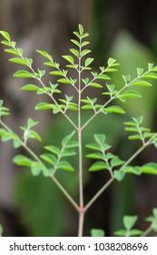 Moringa oleifera, Moringa leaves on tree