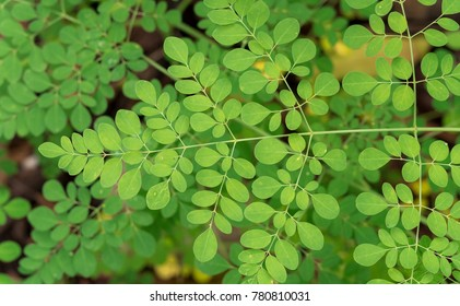 Moringa oleifera, Moringa leaves on tree