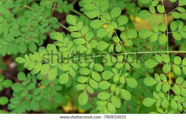 Moringa oleifera, Moringa hojas en el árbol