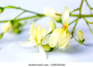 Moringa, Moringa oleifera leaves, Moringa seed,flowers and leaves of Moringa on white isolated background. It is a useful herb that can be used to make both leaf and stem.