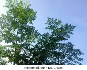 Moringa Oleifera Plant Leaves In The Morning Sunlight At Badung, Bali, Indonesia