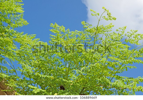 Moringa oleifera, (the tree of life)..It is commonly said that Moringa leaves contain more Vitamin A than carrots, more calcium than milk, more iron than spinach,