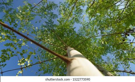 moringa tree and blue sky