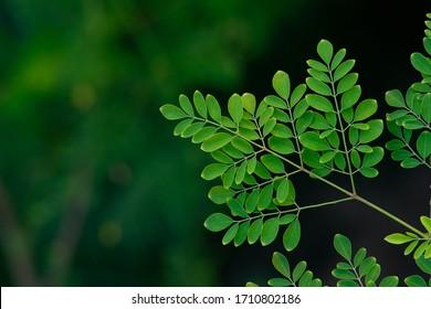 Moringa tree fresh leaf background