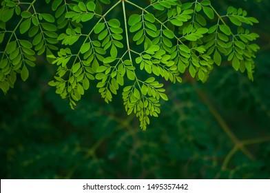 the moringa tree leaves background