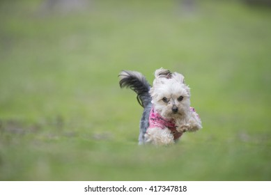 Morkie dog in action