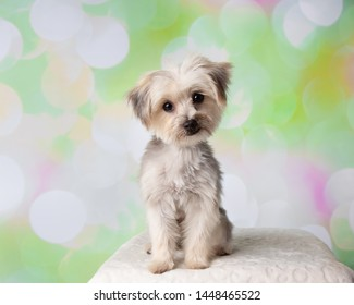 Morkie Yorkie Maltese Mix Dog Sitting Portrait on a Colorful Spring Background