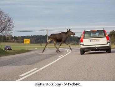 MORKO SWEDEN May 16, 2017. Moose calf crossing a road.
