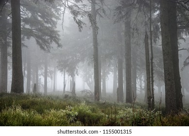 Morning after the night rain in summer coniferous forest. Foggy misty morning. Misty atmosphere.