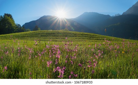 morning in the allgau alps. sun is rising over wildflower meadow with pink lychnis and dew drops