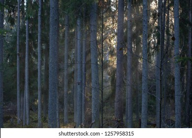 Morning autumn landscape with fog and light  in the fir forest