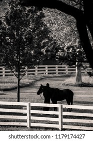 Morning Bath at Horse Farm in black and white