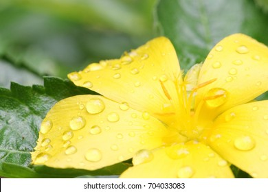 Morning blooming bright yellow Sage flower after shower raindrop on beautiful blossom