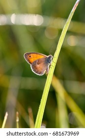 Morning butterfly on green meadow.Small Cute brown butterfly sitting on a blade of grass.Beautiful insect macro.Natural background/The Small Heath, butterfly in natural habitat (Coenonympha pamphilus)