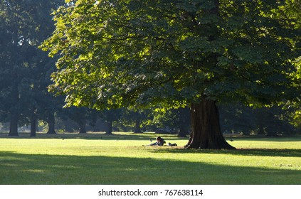Morning chestnut tree in the park