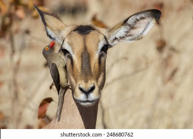 Morning cleaning - Red-billed oxpecker, Impala (Buphagus erythro