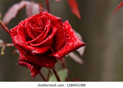 Morning dew. After the rain. Red Rose