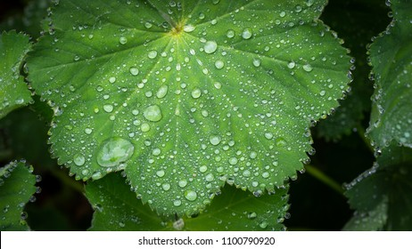 morning dew drops on green geranium leaf