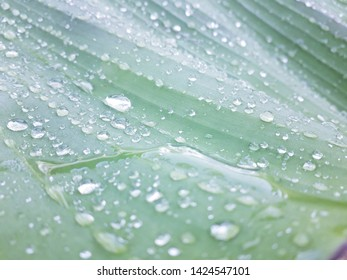 Morning dew on banana leaves - The natural background of banana leaves with dew drops