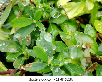 Morning Dew on green leaves.