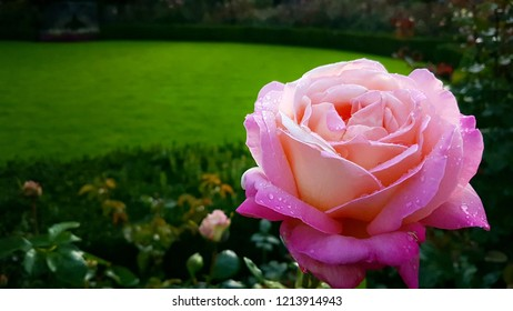 Morning dew on a pink rose in the garden, Butchart Gardens, Victoria, British Columbia, Canada